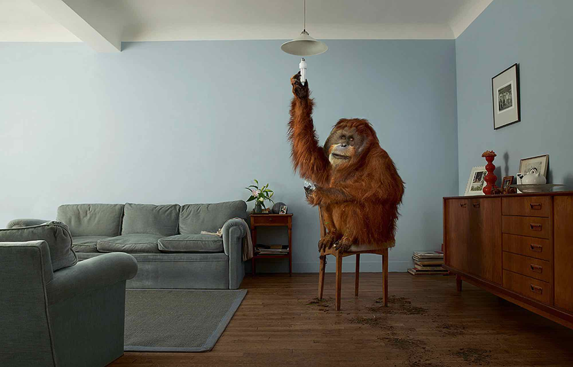 orang outang change une lampe du lampadaire du salon. An orang outang changes the bulb of a lamp in the living room.